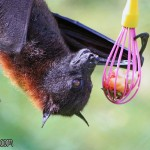 Island Flying Fox, Pteropus hypomelanus