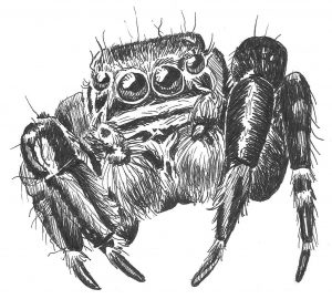 How to Draw a Jumping Spider - cute spider face