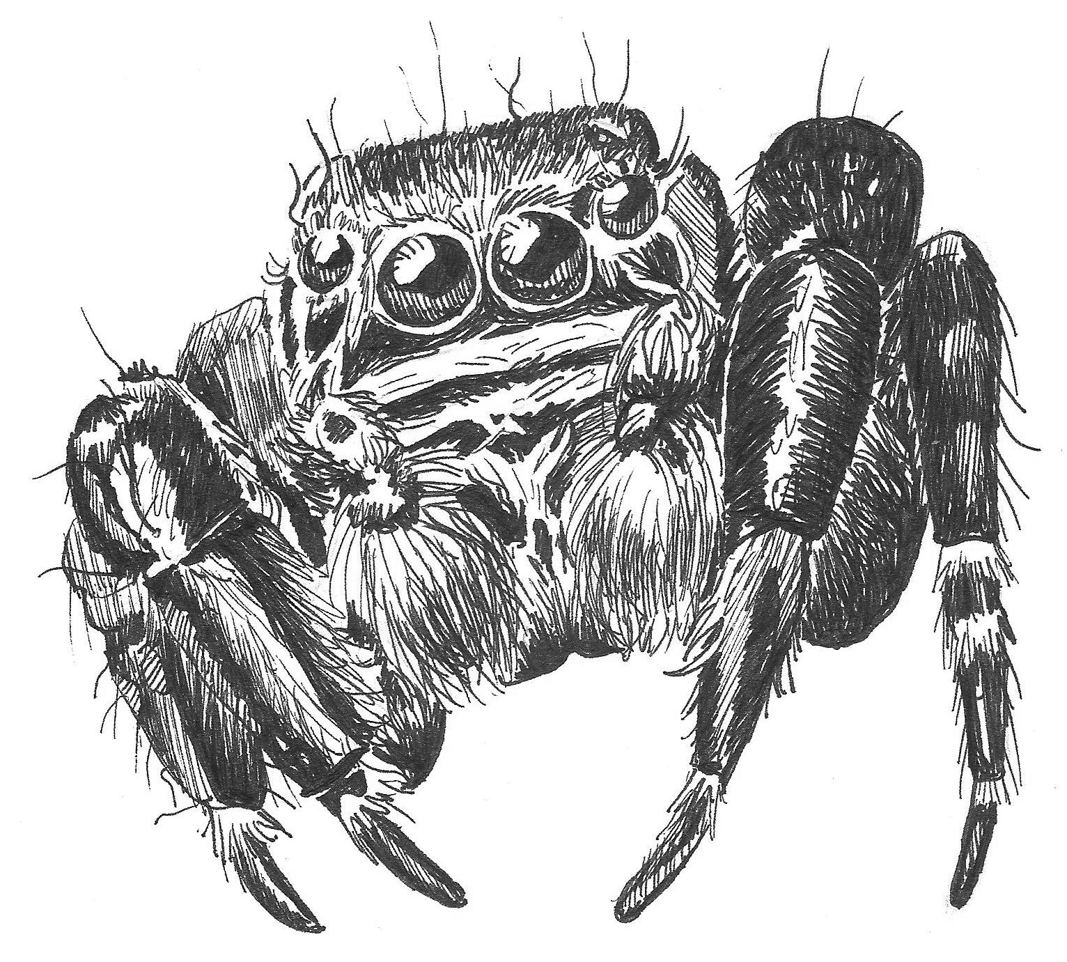 How To Draw A Jumping Spider Worksheet Dawns Brain