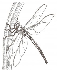 How to Draw a Dragonfly - dragonfly on blade of grass