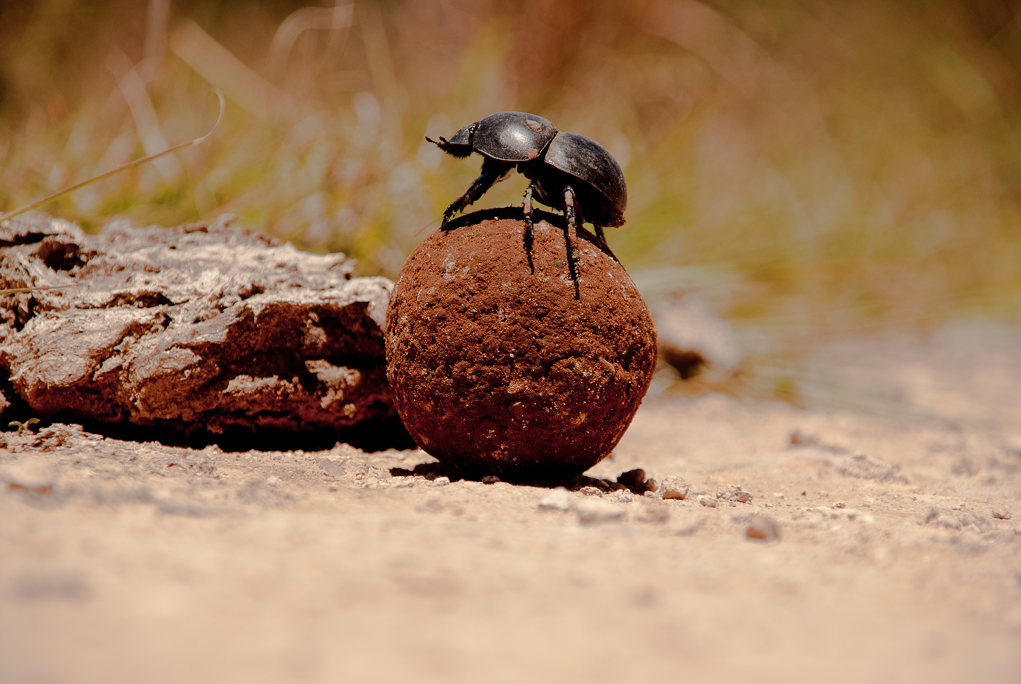 dung beetle photo by Andi Gentsch on Flickr