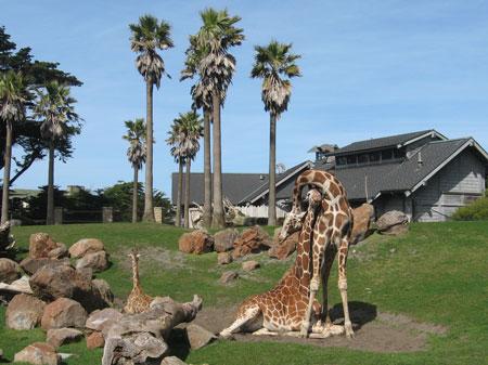 Giraffes at the San Francisco Zoo, copyright Dawn Pedersen