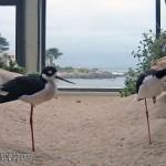 Black-necked Stilt, Himantopus mexicanus