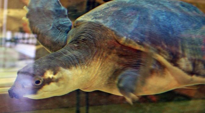 Fly River Turtle AKA Pig-nosed Turtle, Carettochelys insculpta