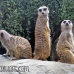 Meerkat, Suricata suricatta