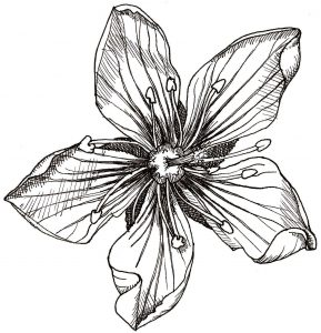 How to Draw a Venus Flytrap: Venus Flytrap flower