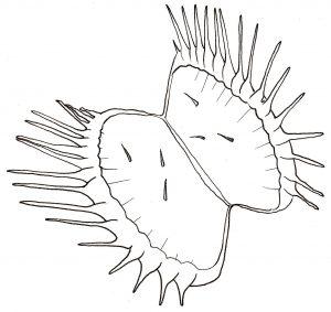 How to Draw a Venus Flytrap: Venus Flytrap open leaf